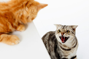 Surprisingly the territorial streak in your first cat may not surface initially at all. It may come up after many months or years of being introduced to the other feline. Usually cats tend to show their territorial nature upon attaining maturity and that is between the ages of two to five years. Image Credit - www.catster.com