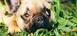 Grazing habit in some dogs may be an  inherited trait passed on from the ancestors. Image https://moderndogmagazine.com
