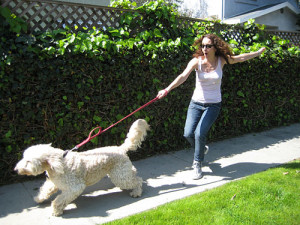 Dog Harnesses offer better safety as they are secured in a way that they cover an extended area of the body, it goes over the shoulders, front limbs, and chest. This will completely restrict the pooch from escaping. Image - www.askthedogguy.com