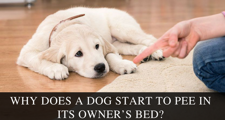 Why Does A Dog Start To Pee In Its Owner's Bed