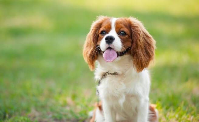Prime eight Small Canine Breeds that Give the Greatest Canine Parenting Expertise 5