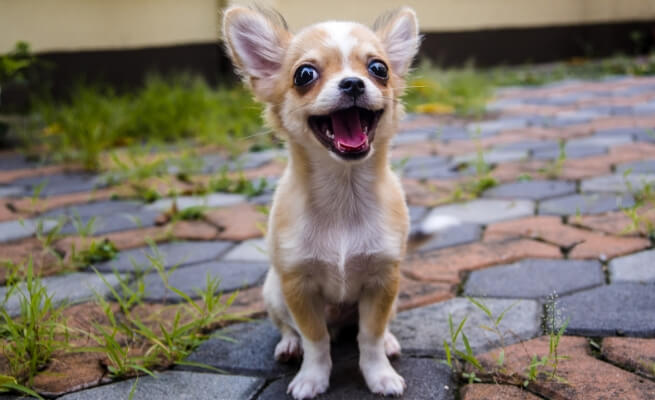 Prime eight Small Canine Breeds that Give the Greatest Canine Parenting Expertise 6