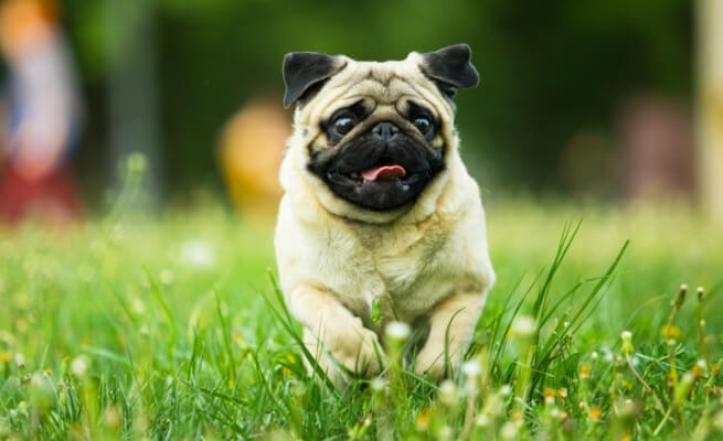 Prime eight Small Canine Breeds that Give the Greatest Canine Parenting Expertise 7