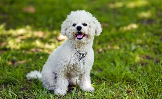 Prime eight Small Canine Breeds that Give the Greatest Canine Parenting Expertise 8