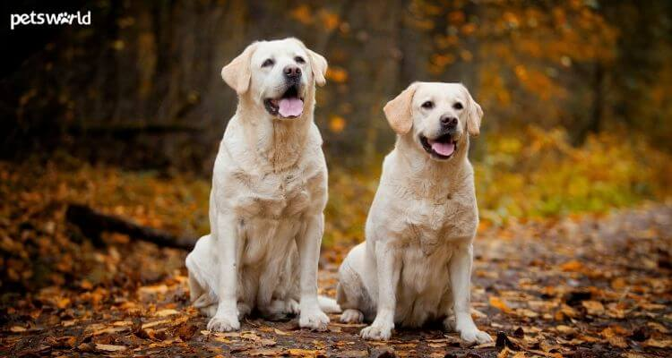 7 Methods to Maintain Your Labrador Comfortable and Wholesome - Pet Weblog 2