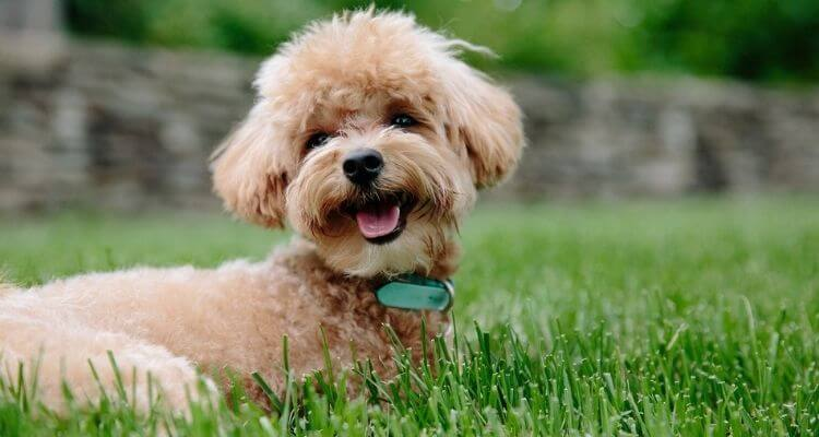 Finest Canine for Small Flats in India 6