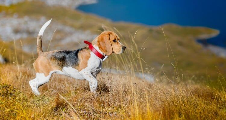 Finest Canine for Small Flats in India 4