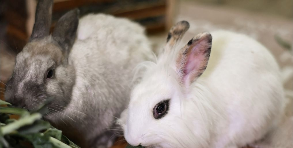 Rabbits in Excellent Health